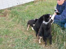 australian shepherd youtube herding mini aussies