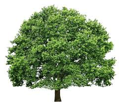 texture oak tree big trees lugher texture library
