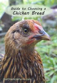 best backyard chicken guide to choosing chicken breeds the best breeds for your
