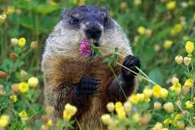 6 ways celebrate groundhog smosh