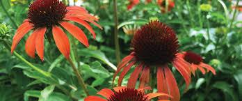 heat loving plants heat loving plants for a cool texas summer garden calloway s nursery