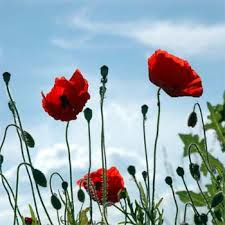 poppies flowers the poppy flower is a controversial flower it is the root for