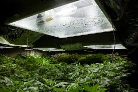 northern lights yield indoor marijuana growers hq pounds per light calculating grow room yield