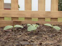 how to grow watermelon how tos diy