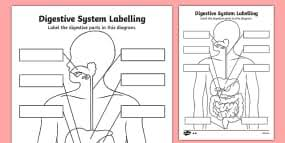 human body overall circulatory system labelling worksheet