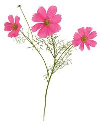stem flowers pink cosmos flower stem 48cm flowers