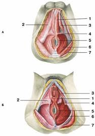 Male Anatomy Perineum Perineum Human Anatomy