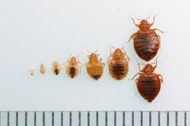Bed Bug Bed Bugs Make An Unwelcome Comeback U0027an Epidemic U0027 In Long Beach