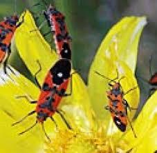 was ist das für ein insekt eine wanze oder was urlaub insekten wanze schafft es zum insekt des jahres 2007 welt