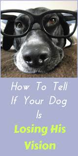 What Causes Dogs To Go Blind How To Tell If Your Dog Is Losing His Sight Petslady Com