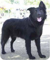 belgian sheepdog breeders in california sparky adopted dog outreach marina del rey ca flat