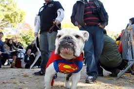 Halloween Costumes English Bulldogs Halloween Parade U2014 Tompkins Square Dog Run