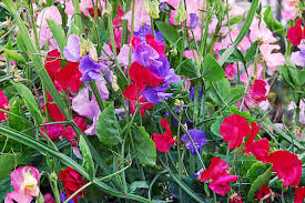 Sweet Pea Images Flower - pea flower pictures images and stock photos istock