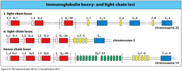 heavy chain light chain chapter 4 immunology type in names of figures flashcards memorang