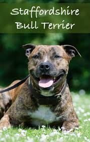 american pitbull terrier heat cycle 149 best fun facts about dogs images on pinterest fun facts
