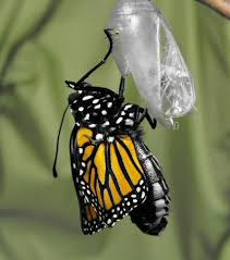 butterfly chrysalis emergence photos cycle images danaus
