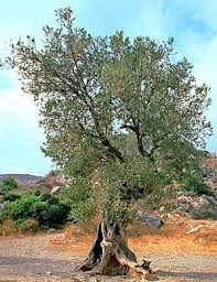 the olive tree significance through history of greece and crete