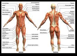 Human Anatomy Careers Anatomy Kinesiology Kinetic Guidance