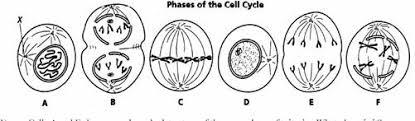 biology 3201 mitosis worksheet answer key