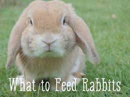 rabbit food bunny care guide what foods do rabbits eat pethelpful
