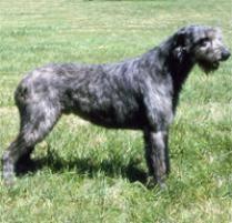 afghan hounds for adoption adopt an irish wolfhound dog breeds petfinder