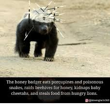Meme Honey Badger - owen slater p the honey badger eats porcupines and poisonous snakes