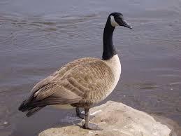 animals canadian goose desktop wallpaper nr 58703 by katrin