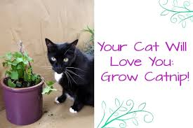 how to grow catnip your cat will love you youtube