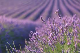 Most Fragrant Lavender Plant Lavender Facts What To Know About Lavender
