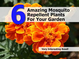 Mosquito Repellent For Home by 6 Amazing Mosquito Repellent Plants For Your Garden
