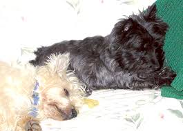affenpinscher webster s green acres kennel shop blog u2013 page 28 u2013 words woofs and meows
