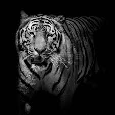 black white up tiger isolated on black background stock