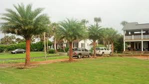 sylvester palm tree price sylvester palm jacksonville s tree source