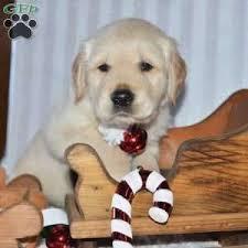 Comfort Retriever Puppies For Sale Golden Retriever Puppies For Sale Greenfield Puppies