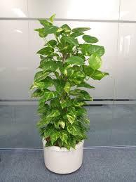 plants that grow in dark rooms devil s ivy aka pothos scindapsus aureus plants for dark living