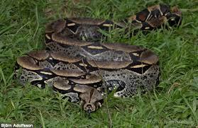 amazon rainforest snakes photos u0026 thinkjungle