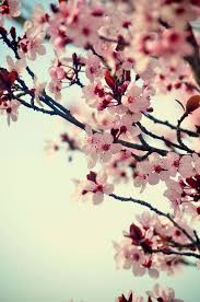 morning blossom wallpapers 25 unique spring blossom ideas on pinterest spring pink