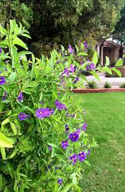 Purple Blooms For The Fall Garden Ramblings From A Desert Garden