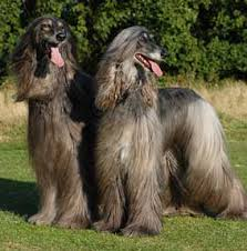 afghan hound weight return of the old afghan hound pashmi dog breed info and photos