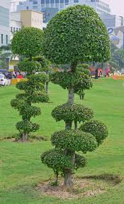 fancy shaped decorative trees with button like canopy stock