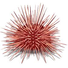 sea urchin drawing images reverse search