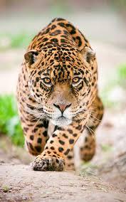imagenes de animales carnivoros para imprimir jaguar información y características