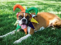 Court Jester Halloween Costume Diy Jester Dog Costume Halloween Hgtv