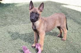 belgian sheepdog oregon litter of 8 belgian malinois puppies for sale in imperial beach