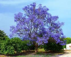 Tree With Purple Flowers Jacaranda Trees Spain Delicate Fern Like Leaves Purple Flowers