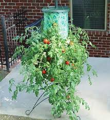 Upside Down Tomato Planter by Super Size Topsy Turvy Upside Down Tomato Tree The Green Head