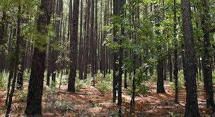 piney woods regions