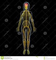 Image Of Brain Anatomy Female Brain Anatomy With Full Body Nervous System Stock Image