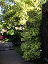 gardening south florida style south florida hedge plants v i