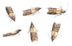 Kitchen Cabinet Bugs How To Get Rid Of Pantry Moths